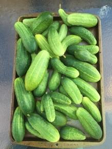gardencucumbers